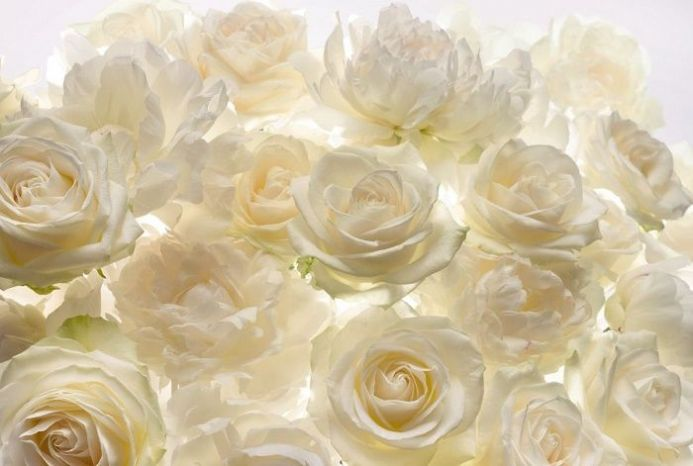 White rose flowers wall non woven wallpapers | homewallmurals